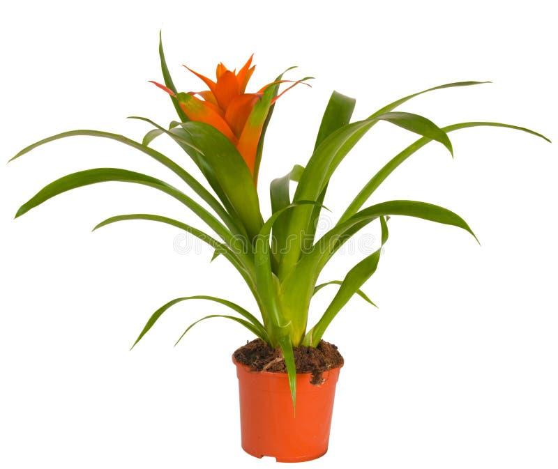 Escarlate da estrela. (Lingulata L. de Guzmania) fotos de stock royalty free