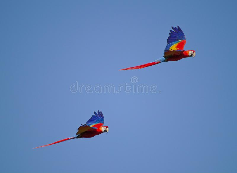 Escarlate das araras dois que voam de lado a lado com o céu azul no fundo imagens de stock royalty free