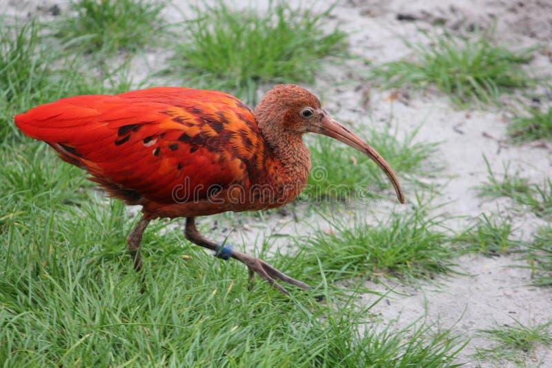 Escarlate de ibis fotografia de stock royalty free