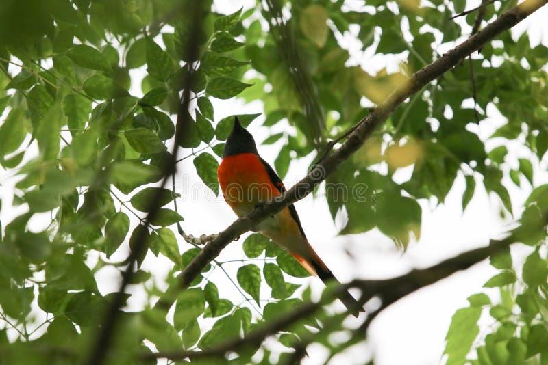 Escarlate do frescor colorido e liberdade da pena do pássaro bonito do minivet que guardam sobre a árvore fotos de stock royalty free