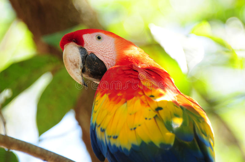 Escarlate do macaw em Honduras foto de stock royalty free