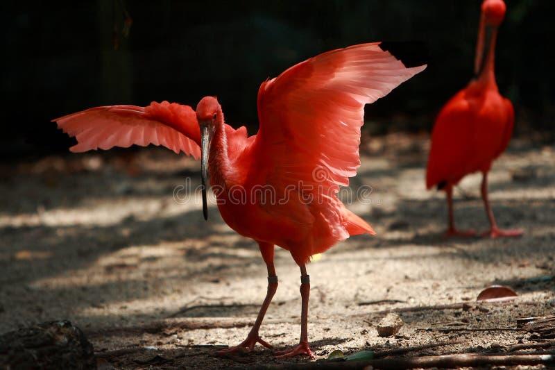 Escarlate do pássaro de Ibis imagem de stock royalty free