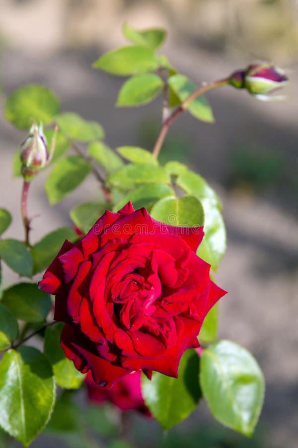 Escarlate levantar-clássico uma declaração do amor e dos tendernesses foto de stock royalty free