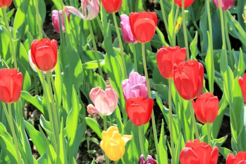 Escarlate, rosa e tulipas amarelas em uma mola bonita em um gramado do divertimento imagens de stock royalty free