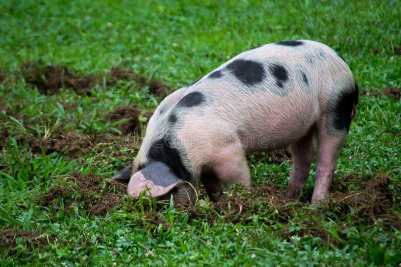 Escavação pequena do porco imagem de stock