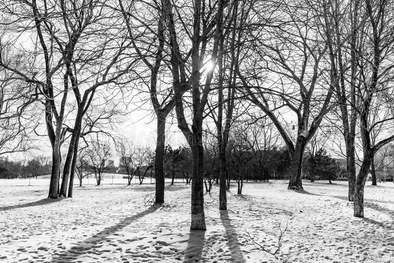 Escena blanco y negro del árbol del invierno que hace frente al Sun en Chicago imagen de archivo
