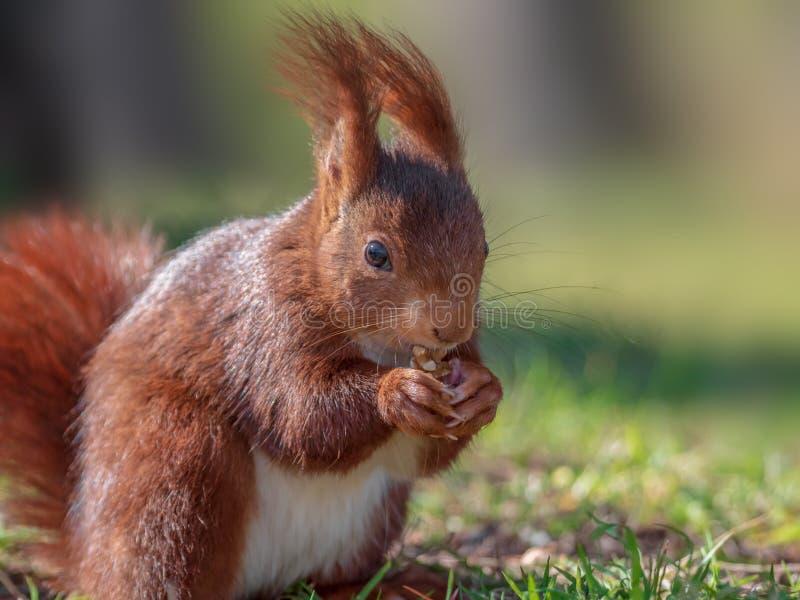 Escena bonita con la ardilla roja que come los pretzeles en un día de primavera imagen de archivo