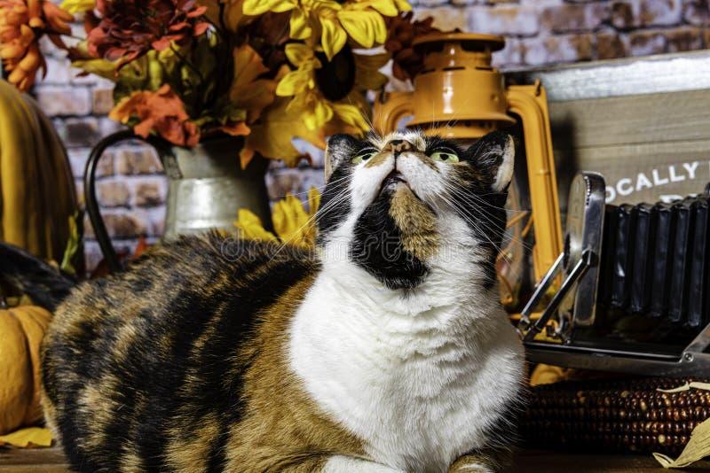 Escena de la caída con el gato de calicó que mira al cielo foto de archivo