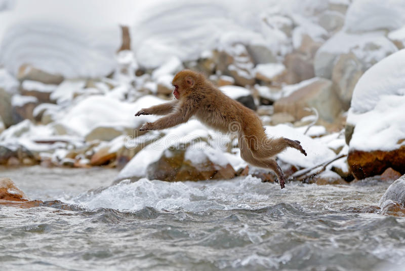 Escena de la fauna del mono de la acción de Japón Monkey el macaque japonés, fuscata del Macaca, saltando a través del río del in foto de archivo