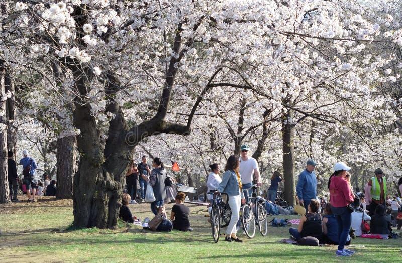 Escena de la primavera de la gente que disfruta de las vistas de la flor de cerezo blanca de la plena floración en el alto parque fotos de archivo
