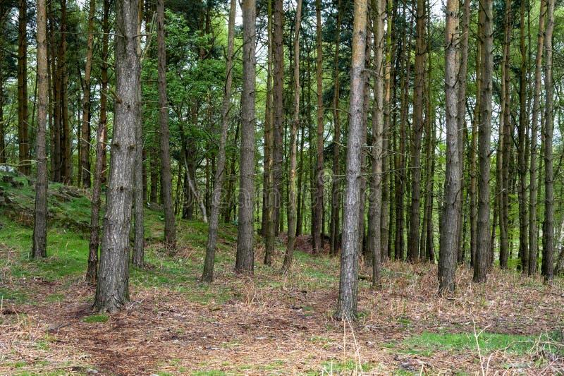 Escena del árbol de pino encima del parque de Bradgate imagen de archivo