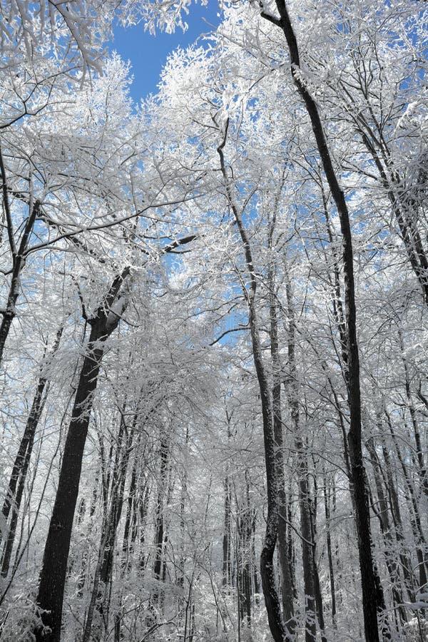 Escena del bosque del invierno Nevado imagen de archivo