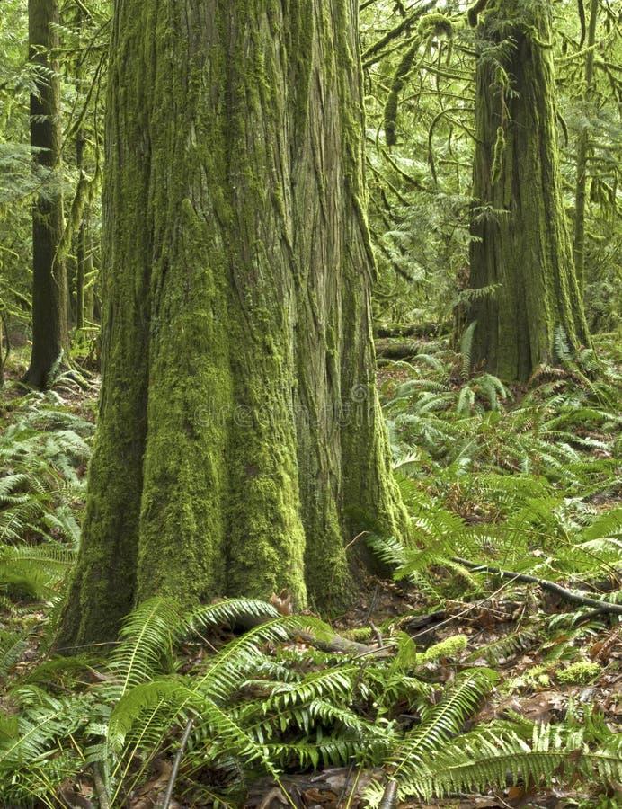Escena del noroeste pacífica templada de la selva tropical imagen de archivo