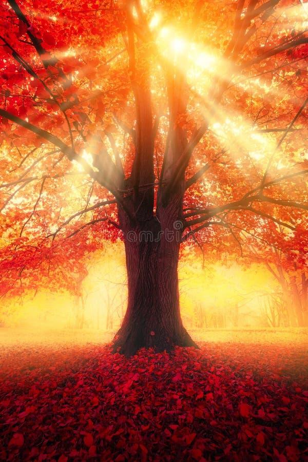 Escena del otoño Árbol con las hojas del rojo y la luz del sol fotos de archivo