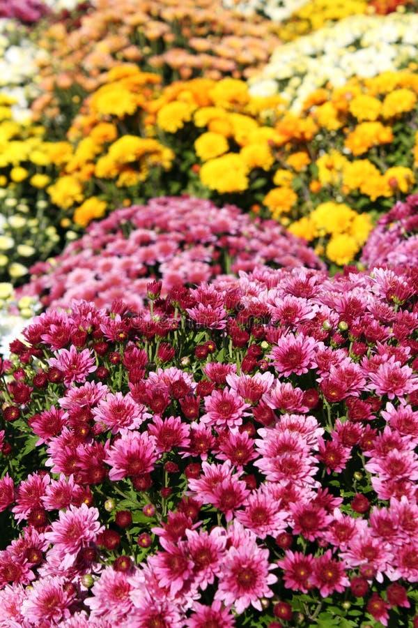 Escena del otoño de la flor del crisantemo fotos de archivo