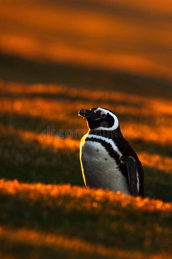 Escena del pingüino de la tarde en la puesta del sol anaranjada Pingüino hermoso de Magellan con la luz del sol Pingüino con la l foto de archivo libre de regalías