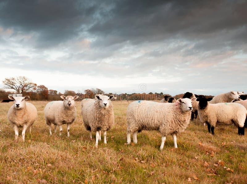 Escena exterior hermosa de la granja con las ovejas blancas que miran la cámara, fotografía de archivo