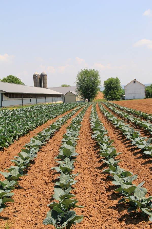 Escena hermosa con filas del nuevo crecimiento de cosechas en tierras de labrantío imagen de archivo