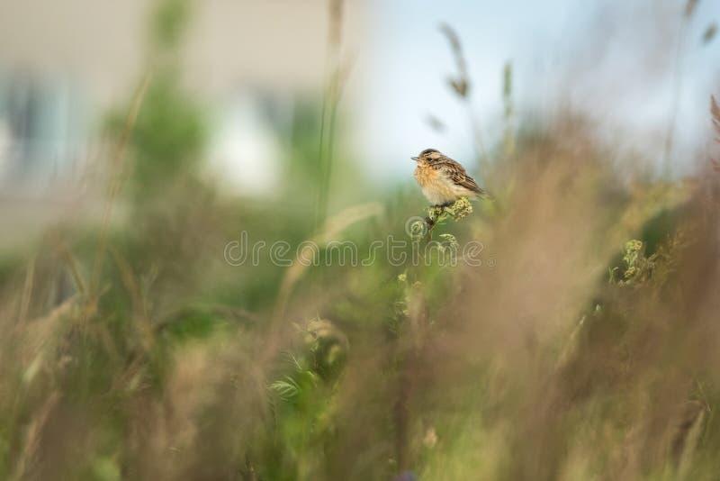 Escena hermosa de la naturaleza con rubetra del Saxicola del whinchat del pájaro fotografía de archivo