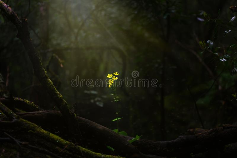 Escena mágica una flor amarilla sola iluminada por los rayos de sol imagenes de archivo