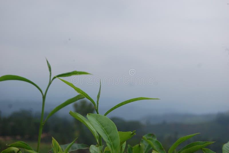 Escena magnífica de la naturaleza Hoja de té con el fondo fotos de archivo libres de regalías
