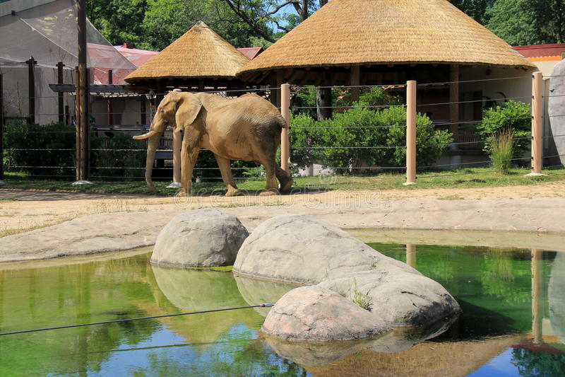Escena pacífica con el elefante en el hábitat natural, Cleveland Zoo, Ohio, 2016 imagen de archivo libre de regalías