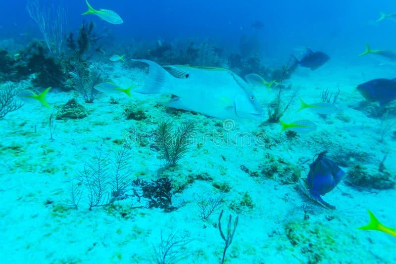 Escena subacuática con los pescados tropicales grandes cerca del arrecife de coral imagen de archivo
