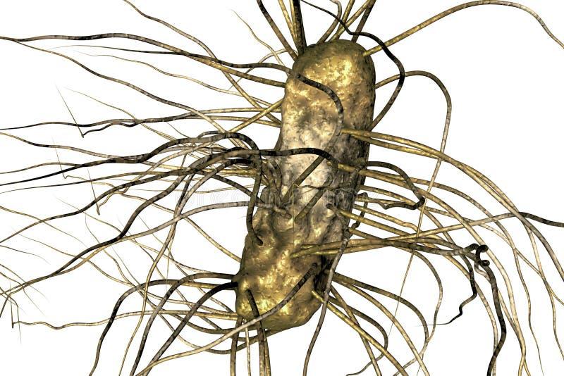 Escherichia coli bacterium stock illustration