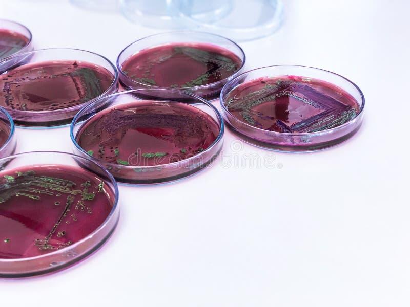 Escherichia coli E.coli cultured with Eosin Methylene Blue EMB Agar in Petri dish show the metallic green sheen colonies. Escherichia coli E.coli cultured with royalty free stock photo
