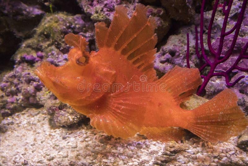 Eschmeyeri Rhinopias Δασύτριχος ψάρι-ψαράς στοκ εικόνες