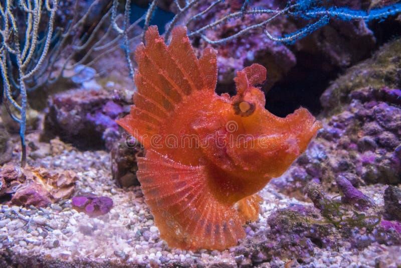 Eschmeyeri Rhinopias Shaggy рыб-рыболов стоковые фотографии rf
