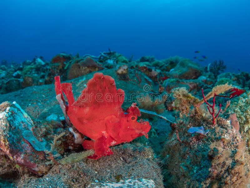 Eschmeyers scorpionfish stock photography