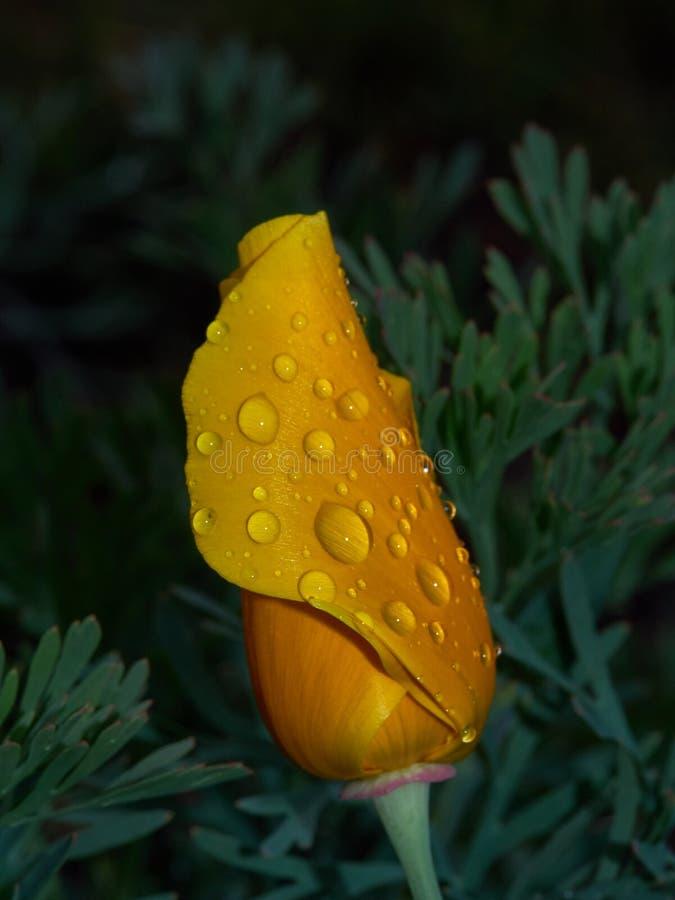 Escholzia-Abend nach Regen stockbilder
