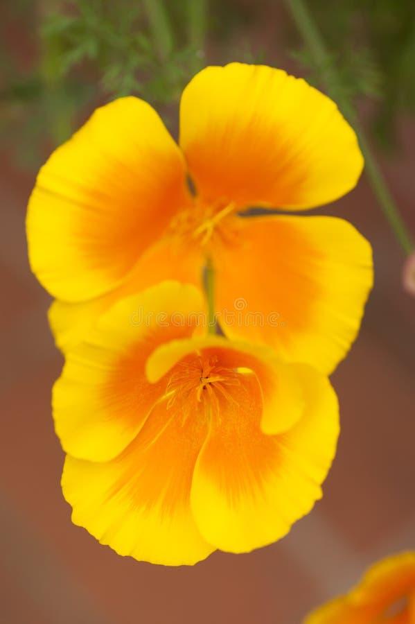 Eschscholzia californica,黄色和橙色鸦片野花 库存图片