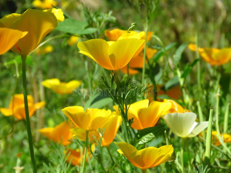 Eschscholzia californica, California poppy. Garden orange yellow poppy flower. Spring, summer, autumn outdoor flower. royalty free stock photo