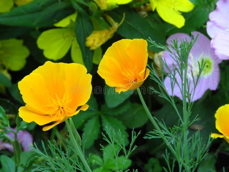 Eschscholzia californica, California poppy. Garden orange yellow poppy flower. Spring, summer, autumn outdoor flower. royalty free stock photography