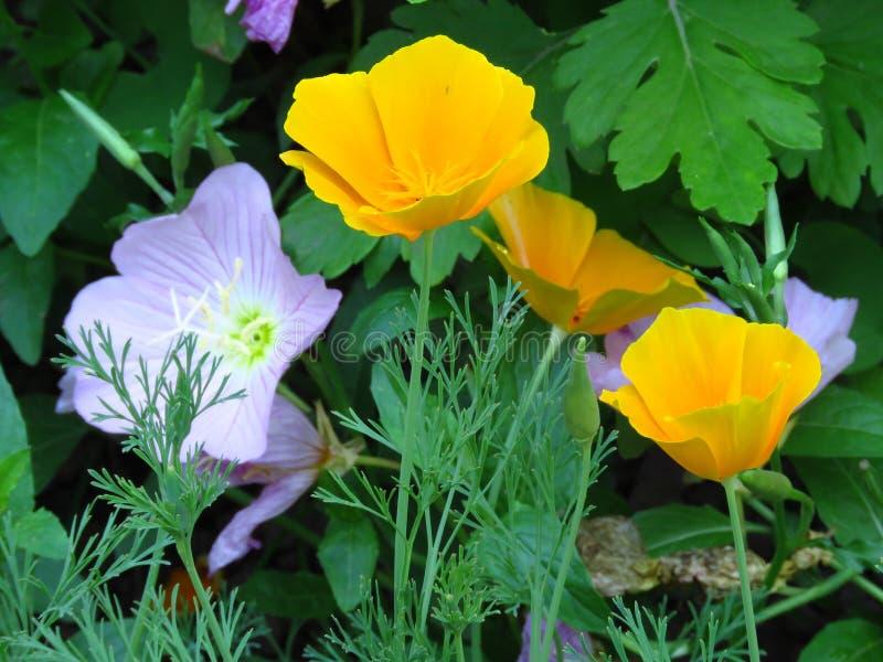Eschscholzia californica, California poppy. Garden orange yellow poppy flower. Spring, summer, autumn outdoor flower. stock photography