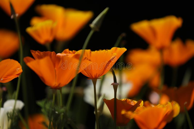 California poppy blossom in dark background royalty free stock image