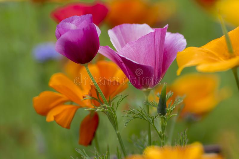 Eschscholzia californica cup of gold flowers in bloom, californian field, ornamental wild plants on a meadow royalty free stock photos