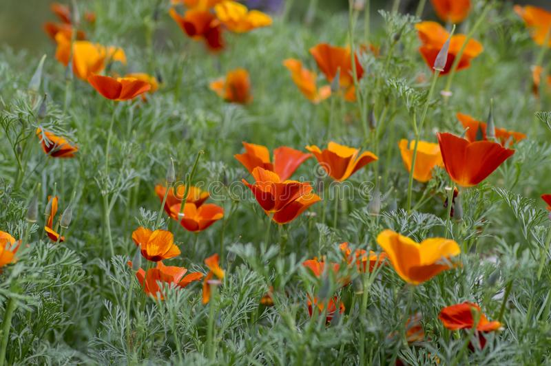 Eschscholzia californica cup of gold flowers in bloom, californian field, ornamental wild plants on a meadow stock photography