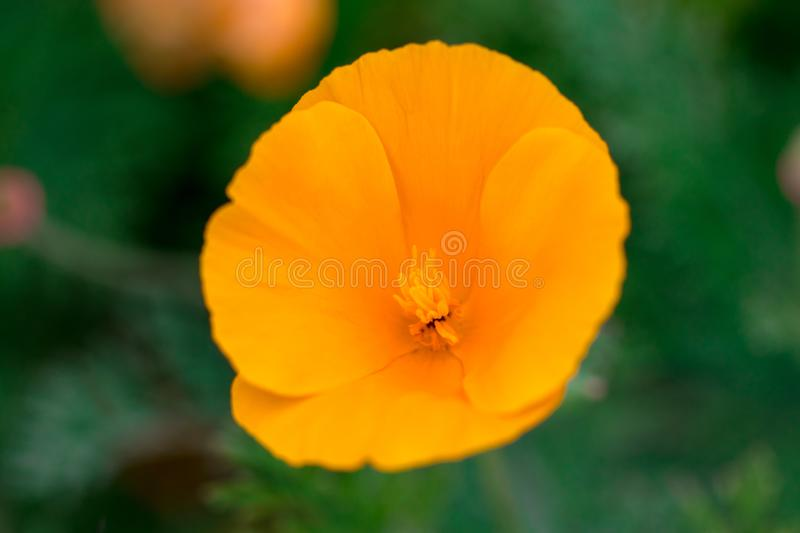 Eschscholzia californica cup of gold bunch of flowers in bloom, royalty free stock images