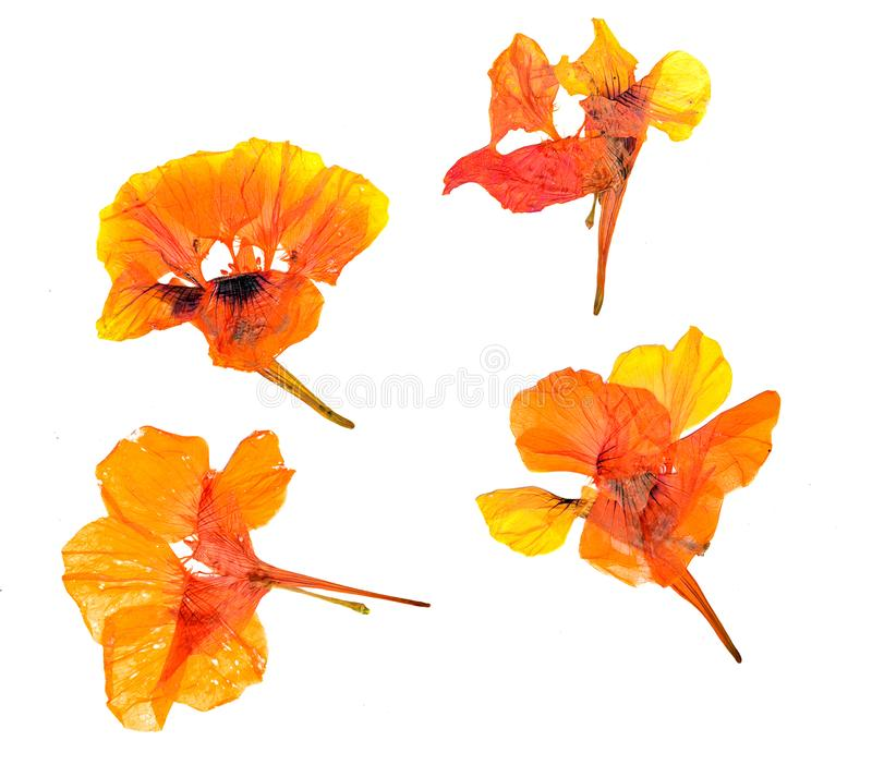 Eschscholzia californica cup gold dry flowers in bloom, orange pressed petals. Flat yellow nasturtium macro curved shape isolated stock photo