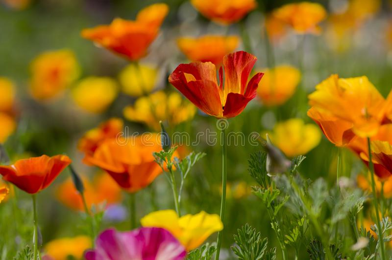 Eschscholzia californica cup of gold flowers in bloom, californian field, ornamental wild plants on a meadow stock image