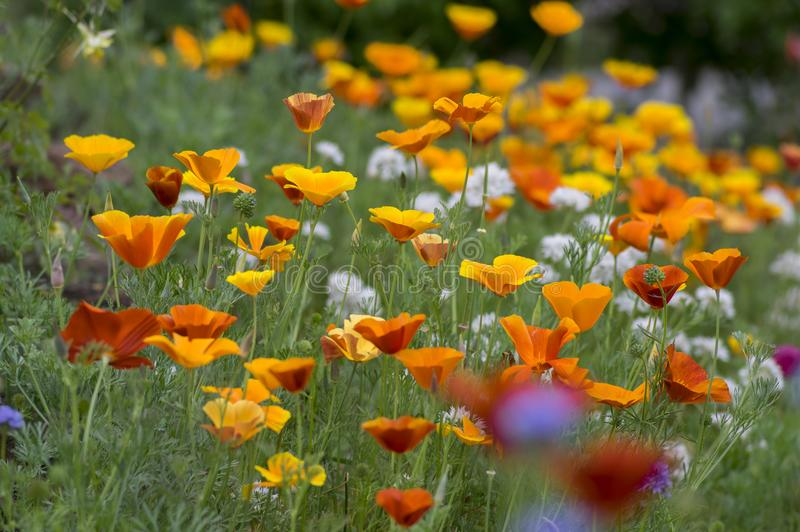 Eschscholzia californica cup of gold flowers in bloom, californian field, ornamental wild plants on a meadow royalty free stock photography