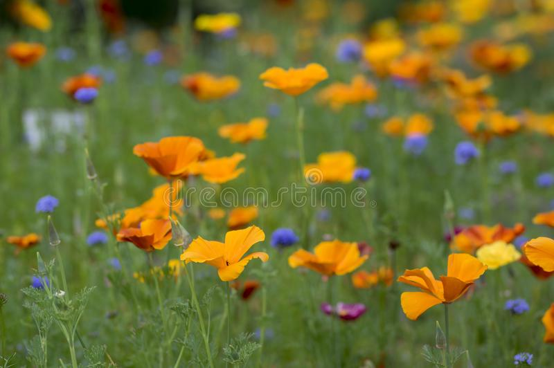 Eschscholzia californica cup of gold flowers in bloom, californian field, ornamental wild plants on a meadow royalty free stock photo