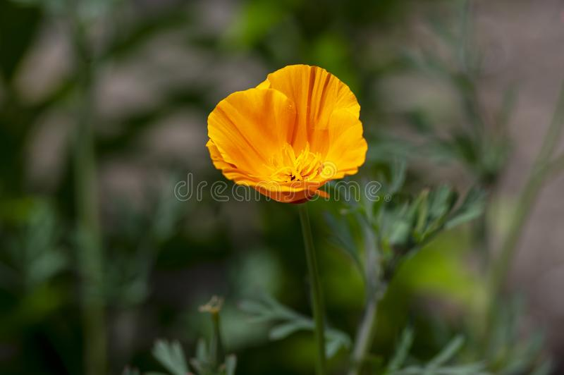 Eschscholzia californica cup of gold flowers in bloom, californian field, ornamental wild plants on a meadow royalty free stock images