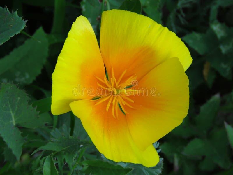 Eschscholzia Californica, de papaver van Californi? Bloem van de tuin de oranjegele doorzichtige papaver royalty-vrije stock fotografie