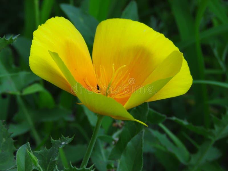 Eschscholzia Californica, de papaver van Californi? Bloem van de tuin de oranjegele doorzichtige papaver stock afbeelding