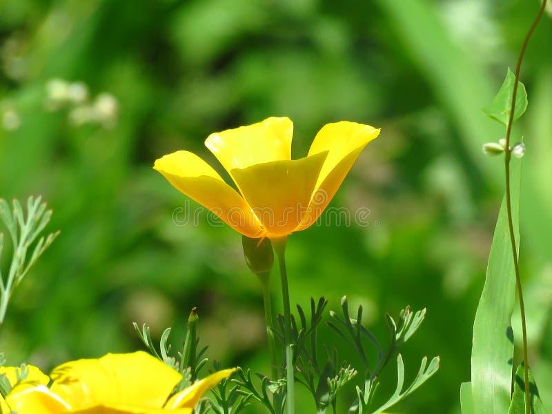 Eschscholzia Californica, de papaver van Californi? Bloem van de tuin de oranjegele papaver De lente, de zomer, de herfst openluc stock foto