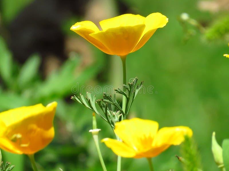 Eschscholzia Californica, de papaver van Californi? Bloem van de tuin de oranjegele papaver De lente, de zomer, de herfst openluc stock fotografie